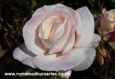 English Miss Rose - Floribunda Potted and Bare Root Roses from ...