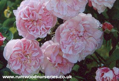 fantin latour rose shrub potted and bare root roses available to buy online from british roses. Black Bedroom Furniture Sets. Home Design Ideas