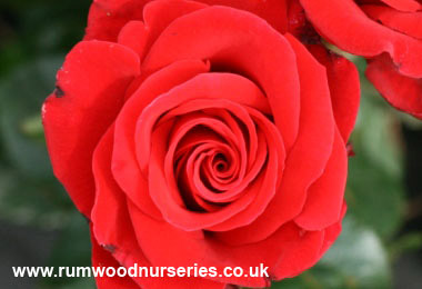 Mail Order Rose Plants For An Anniversary From British Roses