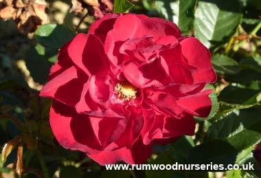 lili marlene rose floribunda potted and bare root roses. Black Bedroom Furniture Sets. Home Design Ideas