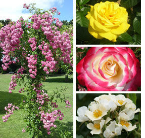 Welcome to Kent's Largest and Best Rose Grower