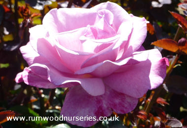 Details of new rose varieties from british roses - What are blue roses called ...