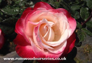 nostalgia rose hybrid tea potted and bare root roses. Black Bedroom Furniture Sets. Home Design Ideas
