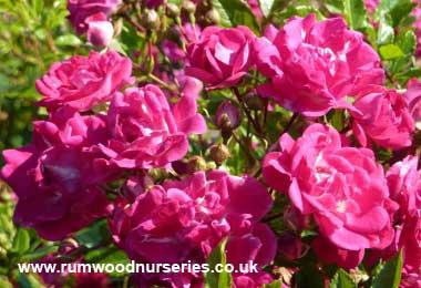 super excelsa rose rambler potted and bare root roses. Black Bedroom Furniture Sets. Home Design Ideas